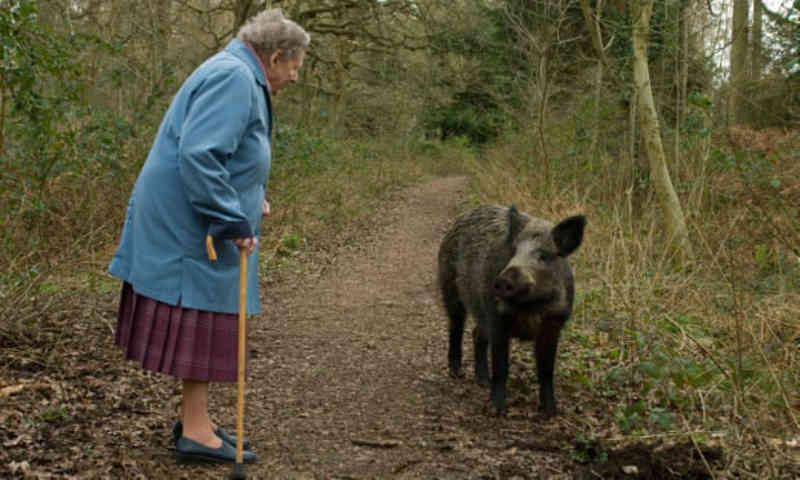 Imoral: grupos combatem o abate de javali realizado pelo National Trust, no Reino Unido