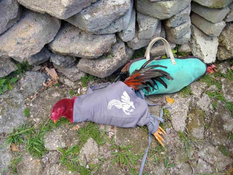 Polícia encontra 12 galos feridos em galpão de rinha na Grande Florianópolis, SC