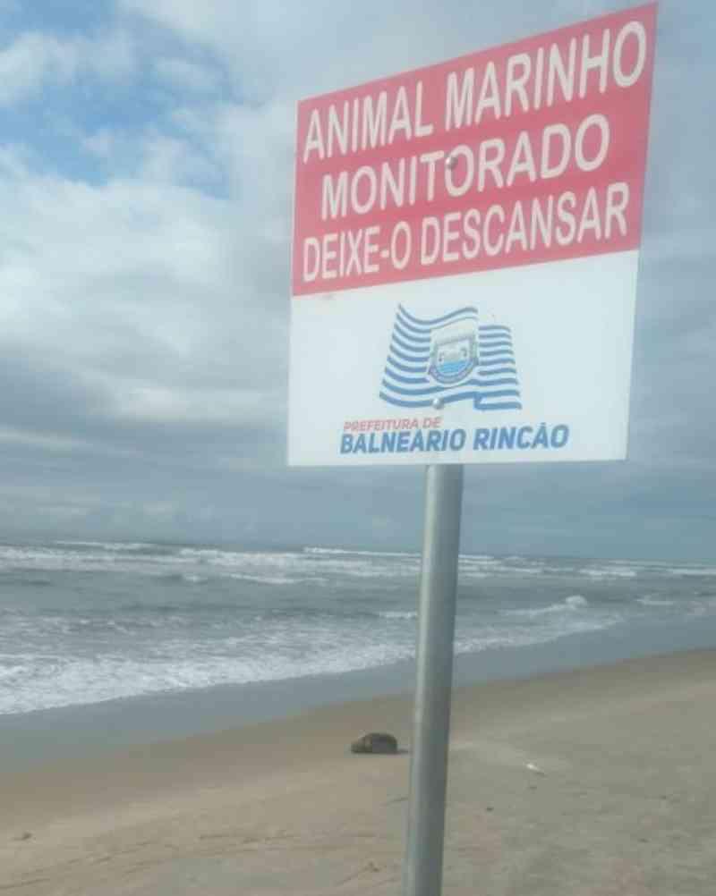 Lobo-marinho é encontrado no Balneário Rincão, SC
