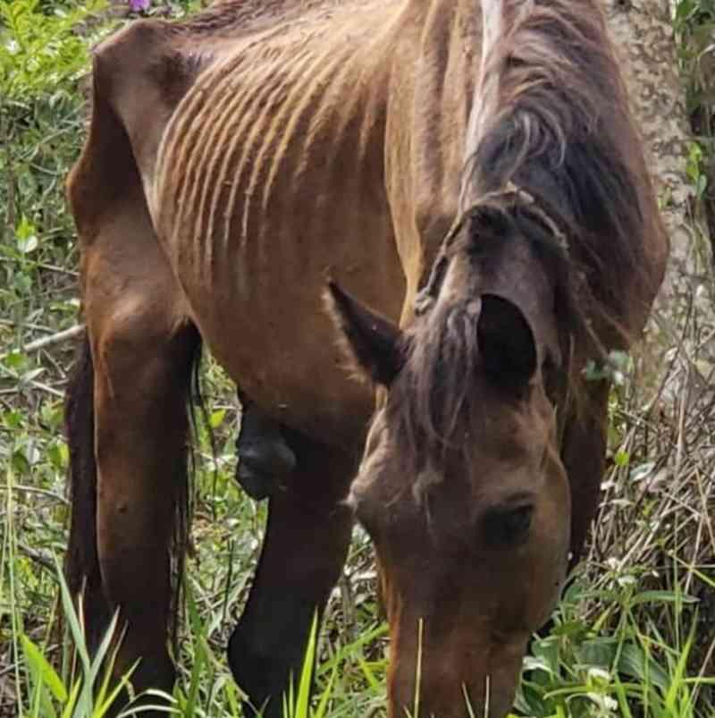 Cavalo abandonado em Brusque (SC) morre horas antes do resgate