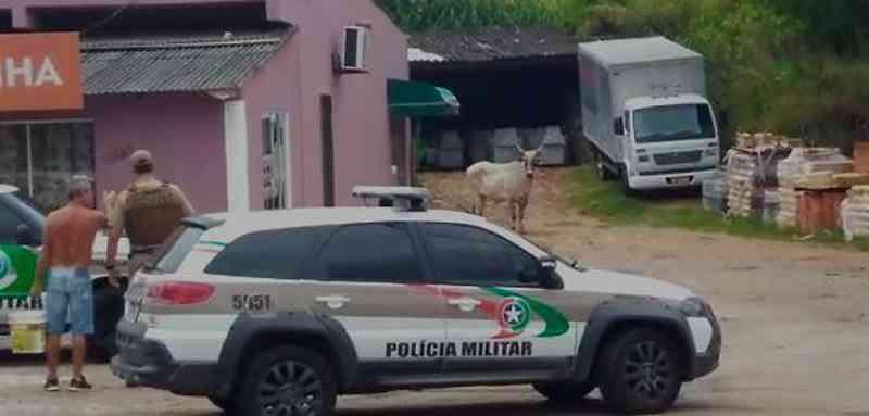 'Situação estava incontrolável', diz comandante da PM sobre abate de boi em farra no Rio Vermelho, em Florianópolis