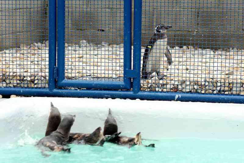Pinguim resgatado em bueiro começa a fazer tratamento em Florianópolis