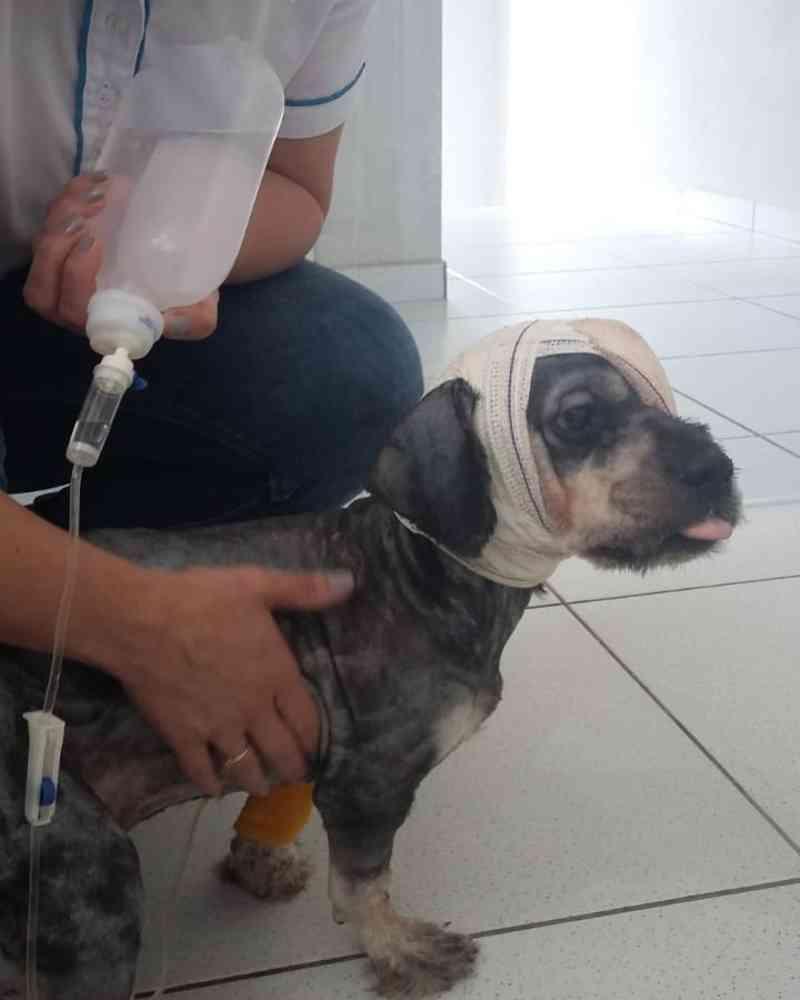 Cachorro é acolhido após maus-tratos, mas perde o olho, em Tubarão, SC