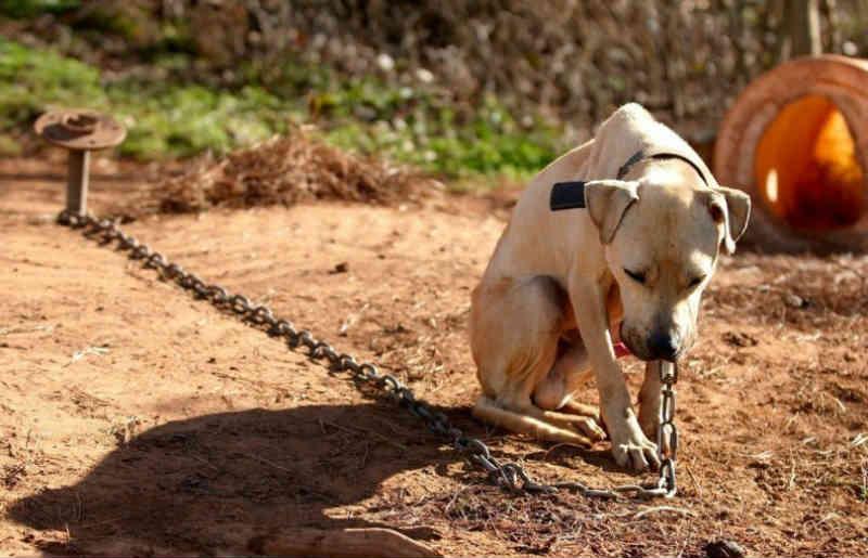 Mudança na lei pune com multa quem acorrentar animal em local inadequado em Araraquara, SP