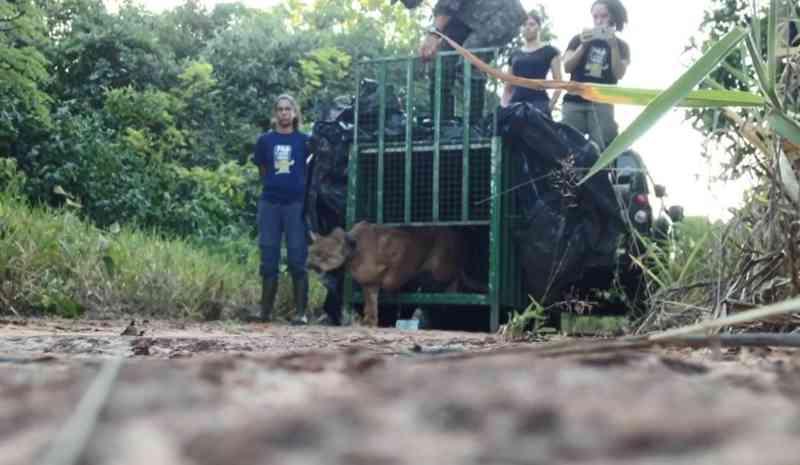 Onça resgatada após se esconder em casinha de cachorro é solta e será monitorada