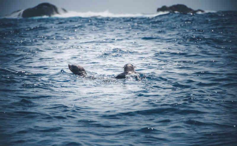 Filhotes de lobos-marinhos são devolvidos ao mar após tratamento em SP; vídeo