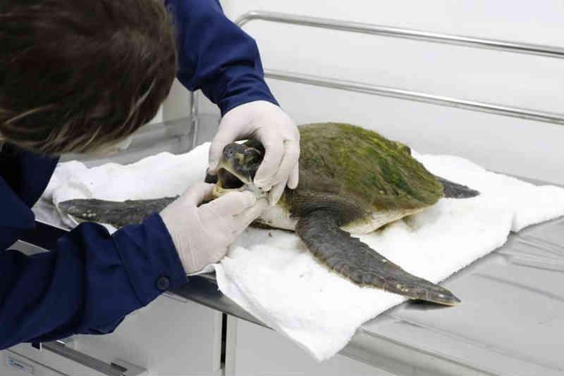 Tartaruga com suspeita de pneumonia é resgatada em Praia Grande, SP