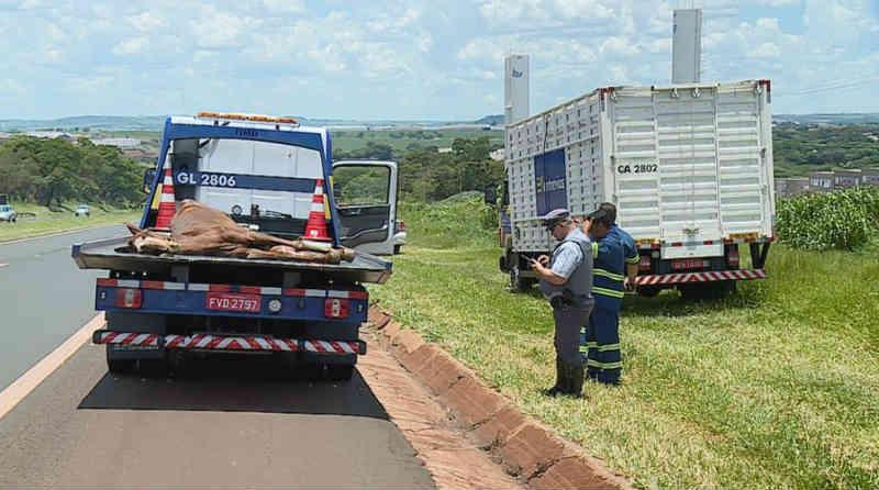 Cavalo é atropelado no Anel Viário Norte de Ribeirão Preto, SP