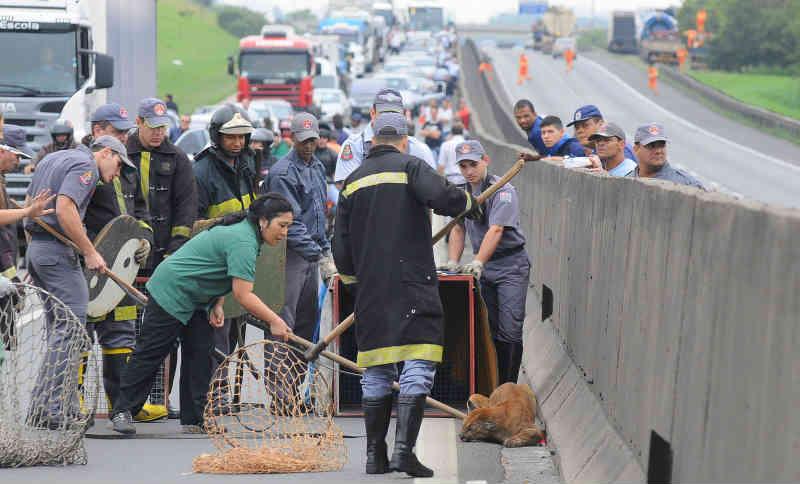 SP: resgate e observação de animais na Anhanguera e Bandeirantes mudam rotina de agentes de tráfego; vídeo