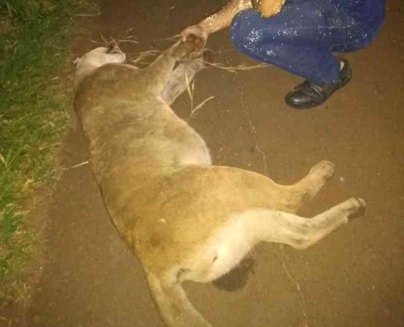 Onça-parda morre após ser atropelada em rodovia de Arandu, SP