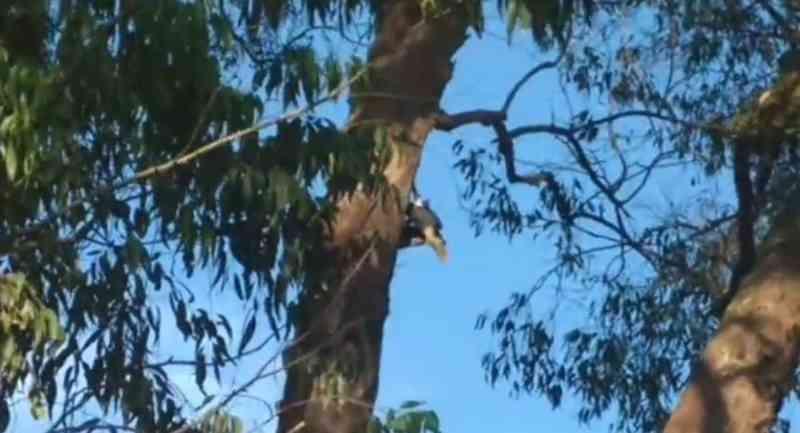 Filhote de tucano fica pendurado em árvore e é resgatado pelo Corpo de Bombeiros, em Avaré, SP