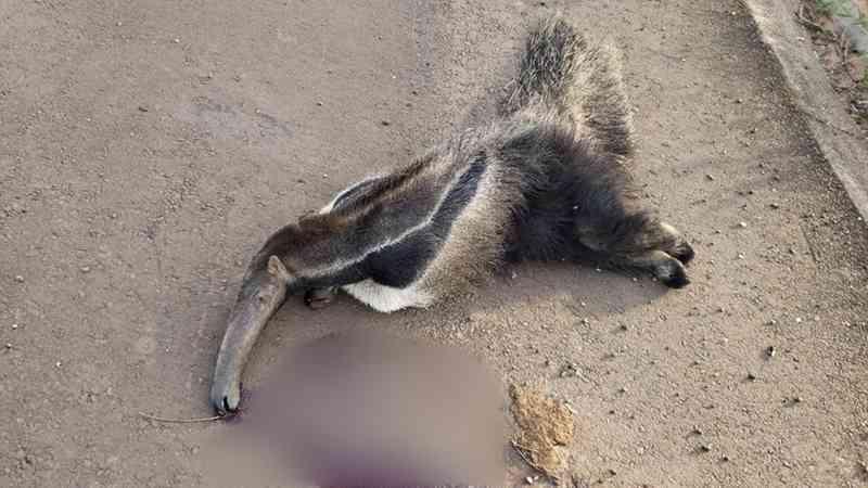 Em extinção, tamanduá-bandeira é encontrado morto em Bauru, SP