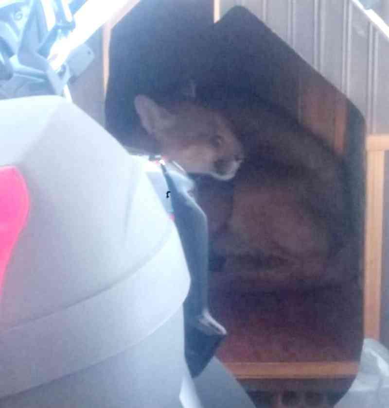 Bombeiros resgatam onça-parda escondida em casinha de cachorro em Botucatu, SP