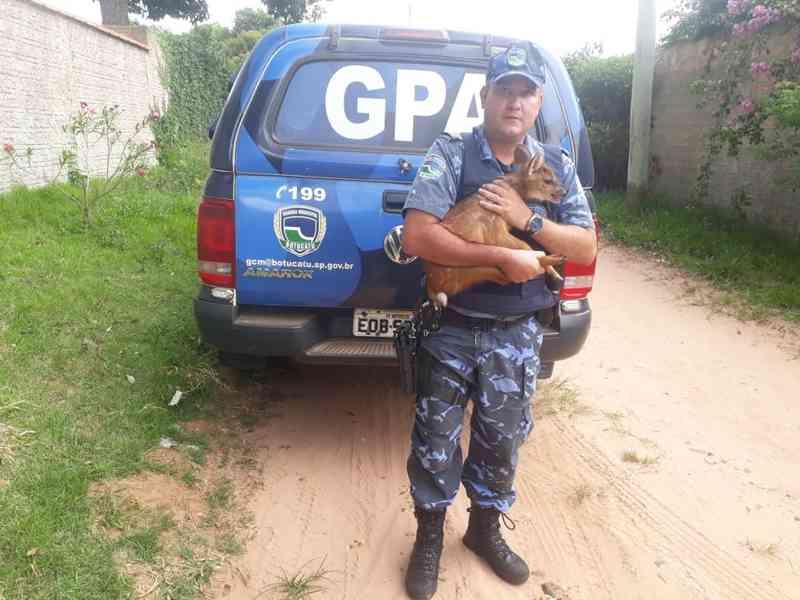 Guarda Municipal resgata filhote de veado-catingueiro em Botucatu, SP