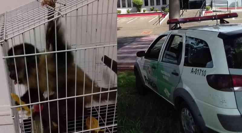 PM resgata macaco-prego vítima de maus-tratos em Mogi Guaçu, SP