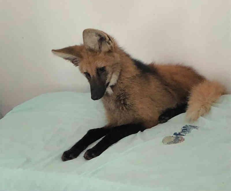 Lobo-guará é capturado em cama de centro de internação e devolvido à natureza em TO; vídeo