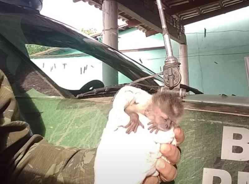 Filhote de macaco-prego é resgatado por equipe Ambiental da PM em Tupiratins, TO
