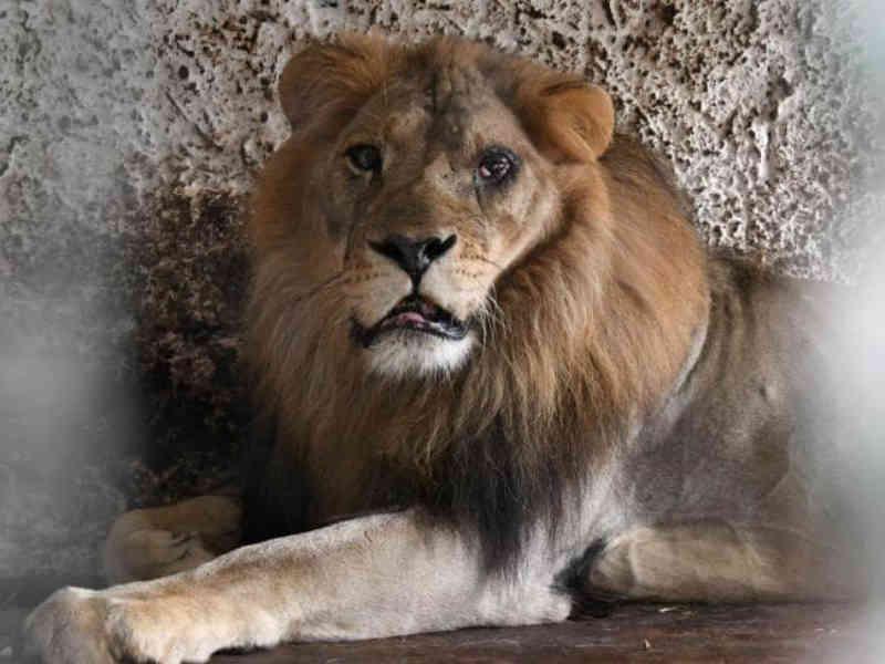 Três leões e um urso de três patas resgatados de um parque Safari apelidado de o zoológico do inferno