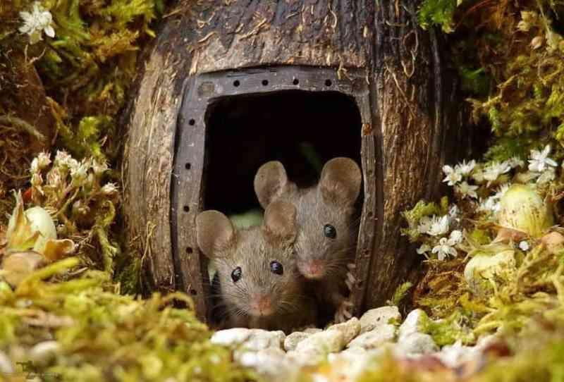 Homem encontra família de ratos em seu jardim, e então constrói para eles um vilarejo miniatura