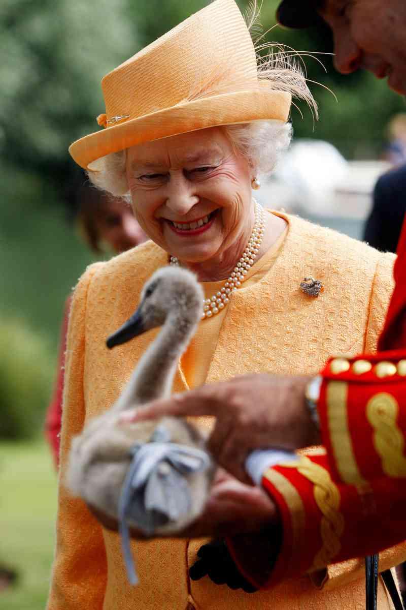 Cisnes são mortos a bala no Reino Unido por serem tutelados pela Rainha