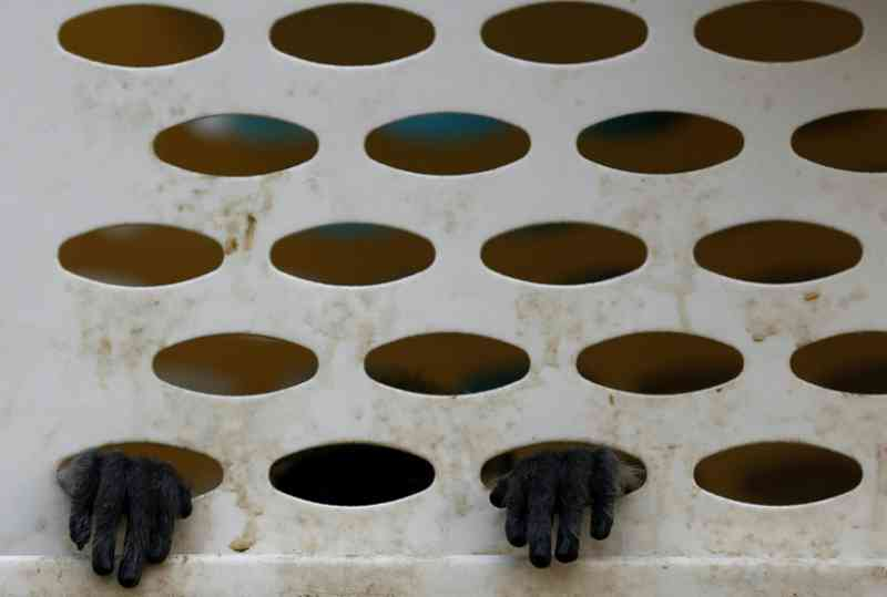 Seis detidos no Vietnã por matar e comer macaco de espécie em extinção