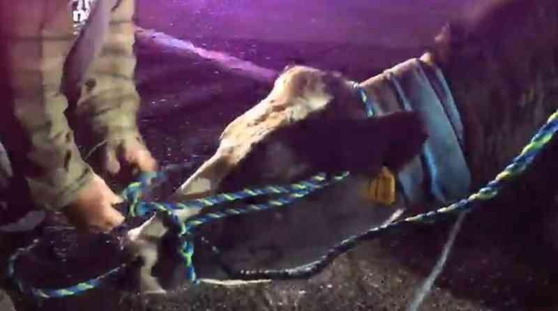 Vaca prenha foge de camião que a levava para um matadouro - Facebook