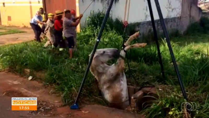 Vídeo mostra égua sendo retirada de dentro de bueiro em Anápolis, GO