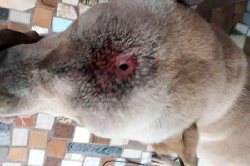 Polícia de Costa Rica (MS) apura denúncia de maus-tratos contra cachorro com perfurações pelo corpo