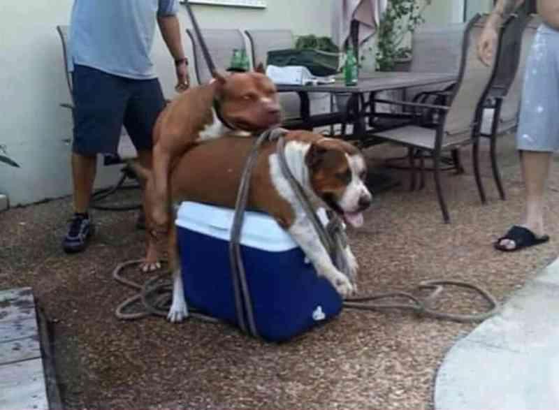Cadela é amarrada para ser cruzada com pit bull e causa revolta nas redes sociais
