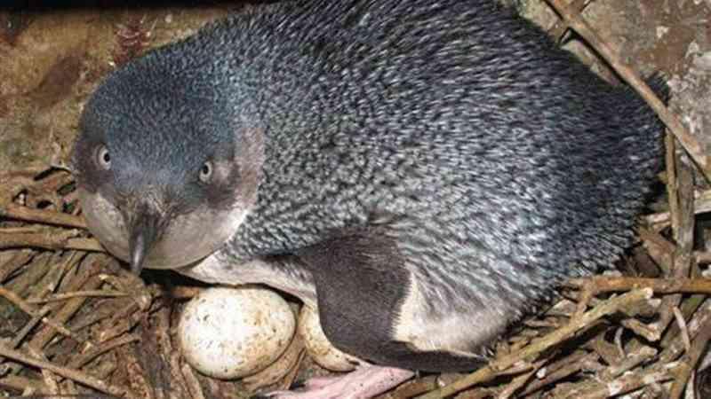 Menor pinguim do mundo, o pinguim azul tem pouco mais de 25 cm de altura e pesa cerca de 1 kg Foto: BRENT TANDY/ DOC