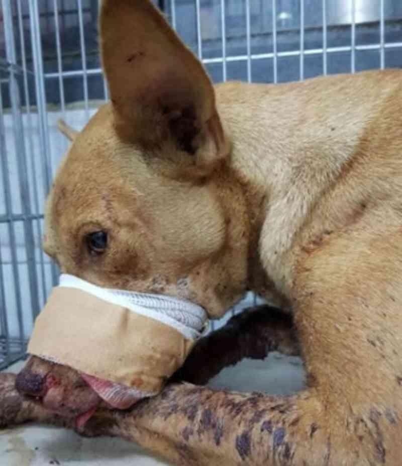 Cachorro luta pela vida depois que crianças explodirem rojão em seu focinho