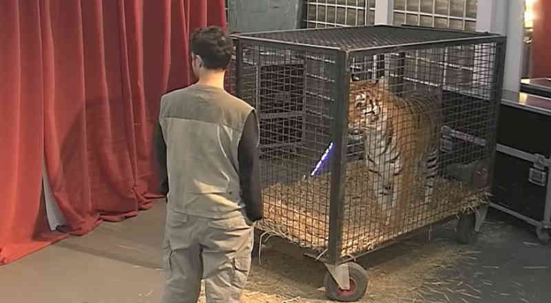 A pegadinha com cantora espanhola e uma tigresa enjaulada provoca críticas à TVE: 'É um absurdo'