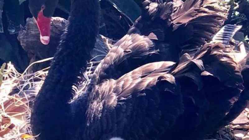 Polícia ouve testemunhas do caso da cisne-negro fêmea morta no Parque Guinle, no Rio