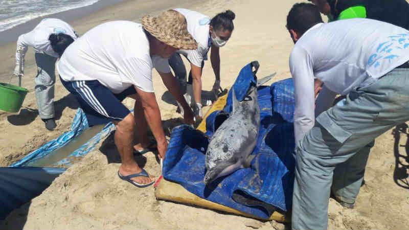 Golfinho foi resgatado no litoral potiguar, mas após três dias de trabalho de voluntários, não resistiu e morreu.
