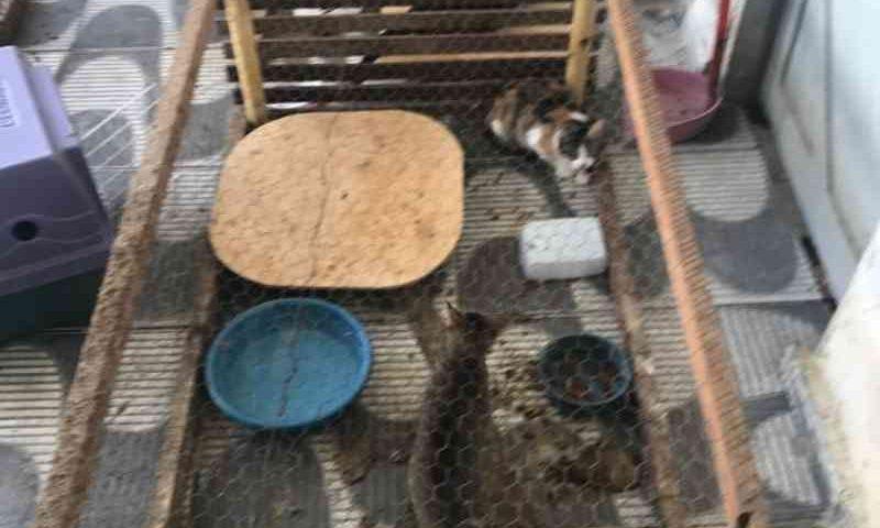 Deprema resgata 40 gatos que vivam como pássaros em gaiolas em Natal Foto: Divulgação/Deprema