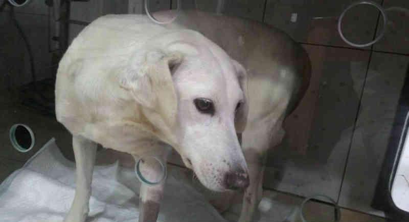 Cadela fica presa em grade após fugir dos fogos em Canela, RS