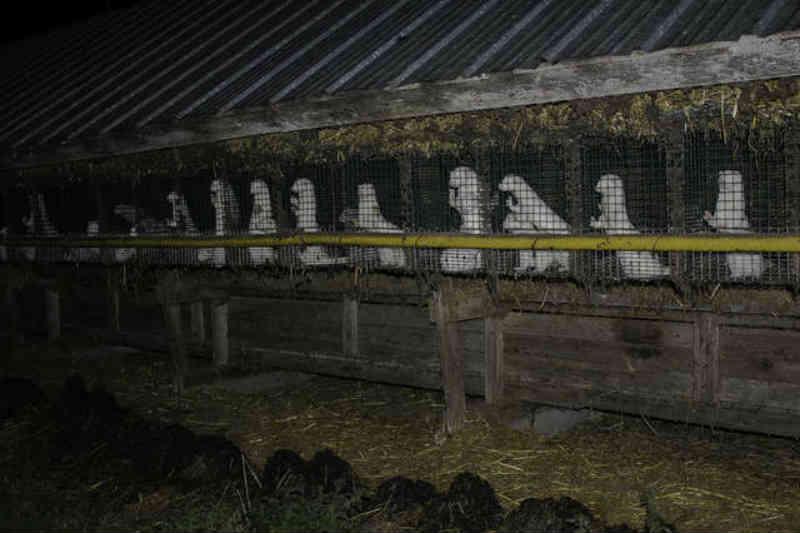Raposas e visons são presas em gaiolas estéreis na fazenda de peles 'assombrosas'