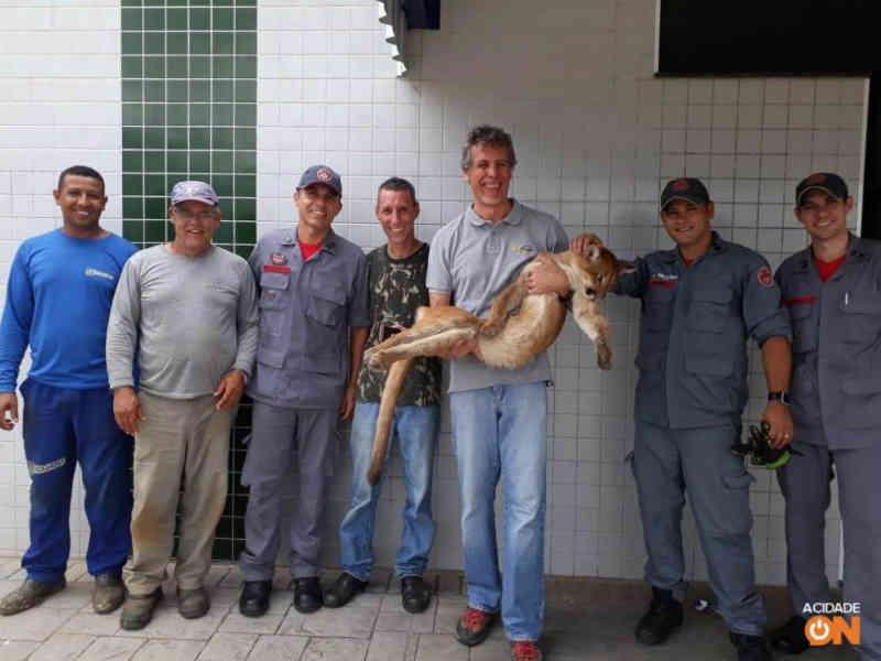 Veterinários resgatam onça-parda de telhado em Americana, SP