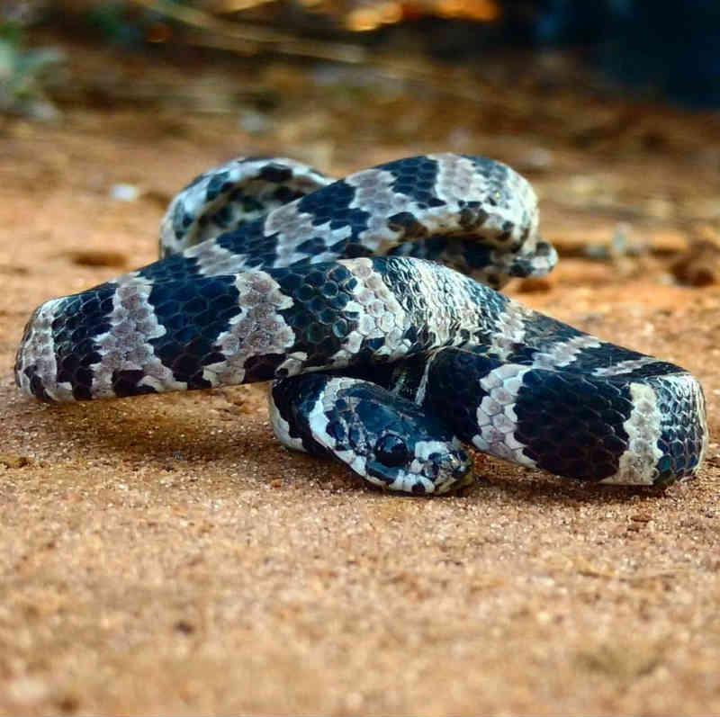 Resgate consciente: serpente é resgatada por moradora de São Carlos, SP