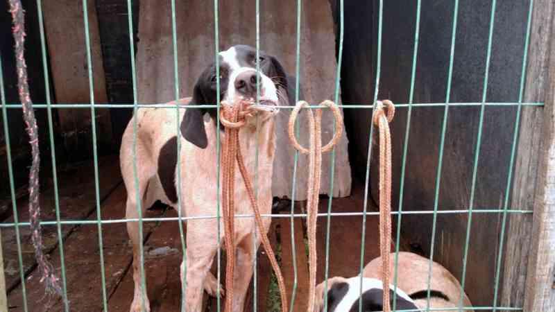 Três cães foram encontrados no canil clandestino em Araras — Foto: Polícia Ambiental/Divulgação