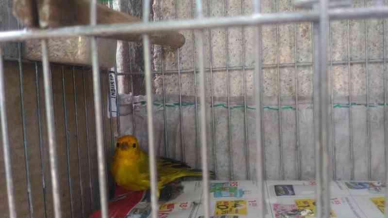 Pássaros eram mantidos em cativeiro dentro de residência em Iguape — Foto: Divulgação/Polícia Ambiental