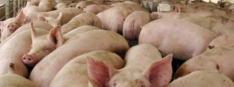 Pesquisadores encontram bactérias resistentes aos antibióticos na carne de porco