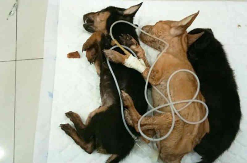 Centenas de cachorros e gatos doentes vivem em um abrigo de animais em Bangkok, Tailândia