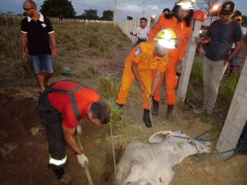 Vaca cai em buraco e é resgatada pelo Corpo de Bombeiros em Arapiraca, Alagoas