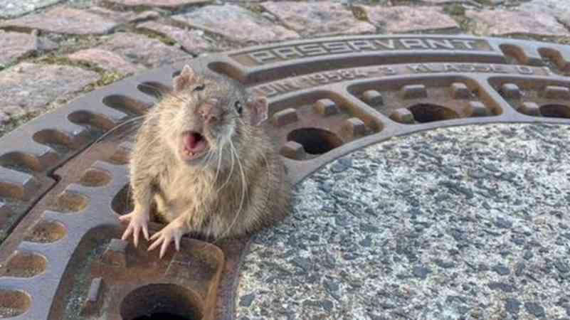 Rata 'gordinha' é salva após ficar entalada em bueiro na Alemanha