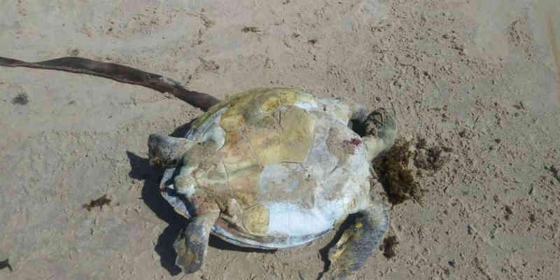 Tartaruga é achada morta em praia de Itacaré, destino turístico da Bahia; ONG contabiliza 27 animais mortos este ano na região