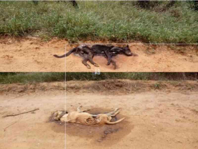 Moradores da comunidade de Julião, em Malhada (BA), denunciam envenenamento de mais de 15 cães