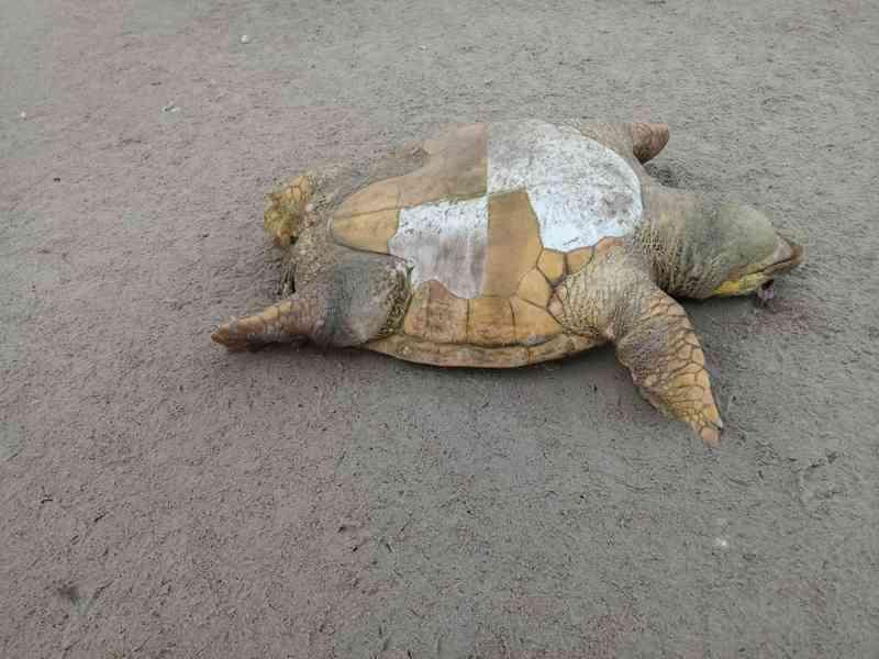 Cinco tartarugas são achadas mortas em praias do sul da Bahia; animais se afogaram após ficarem presos em rede, diz projeto
