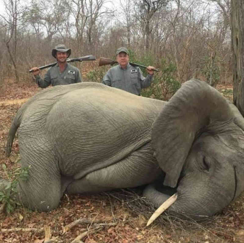 Caçadores matam elefante, exibem como troféu e chocam defensores dos animais