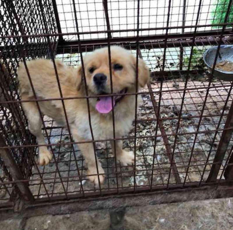 Cão criado para abate na pior fazenda nunca deixou de acreditar que alguém o encontraria